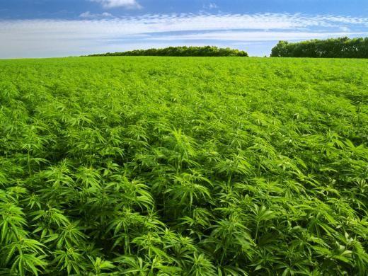 """Torino vota per la cannabis legale """"Sì a produzione e consumo"""""""