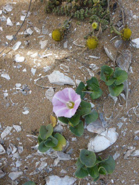 Fleurs et coquillages  de la dune
