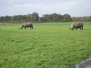 English: Knowsley Safari Park. Rhino!