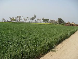 English: Wheat fields near Hasilpur in Punjab,...