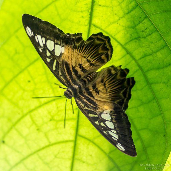 Papillon sous la feuille