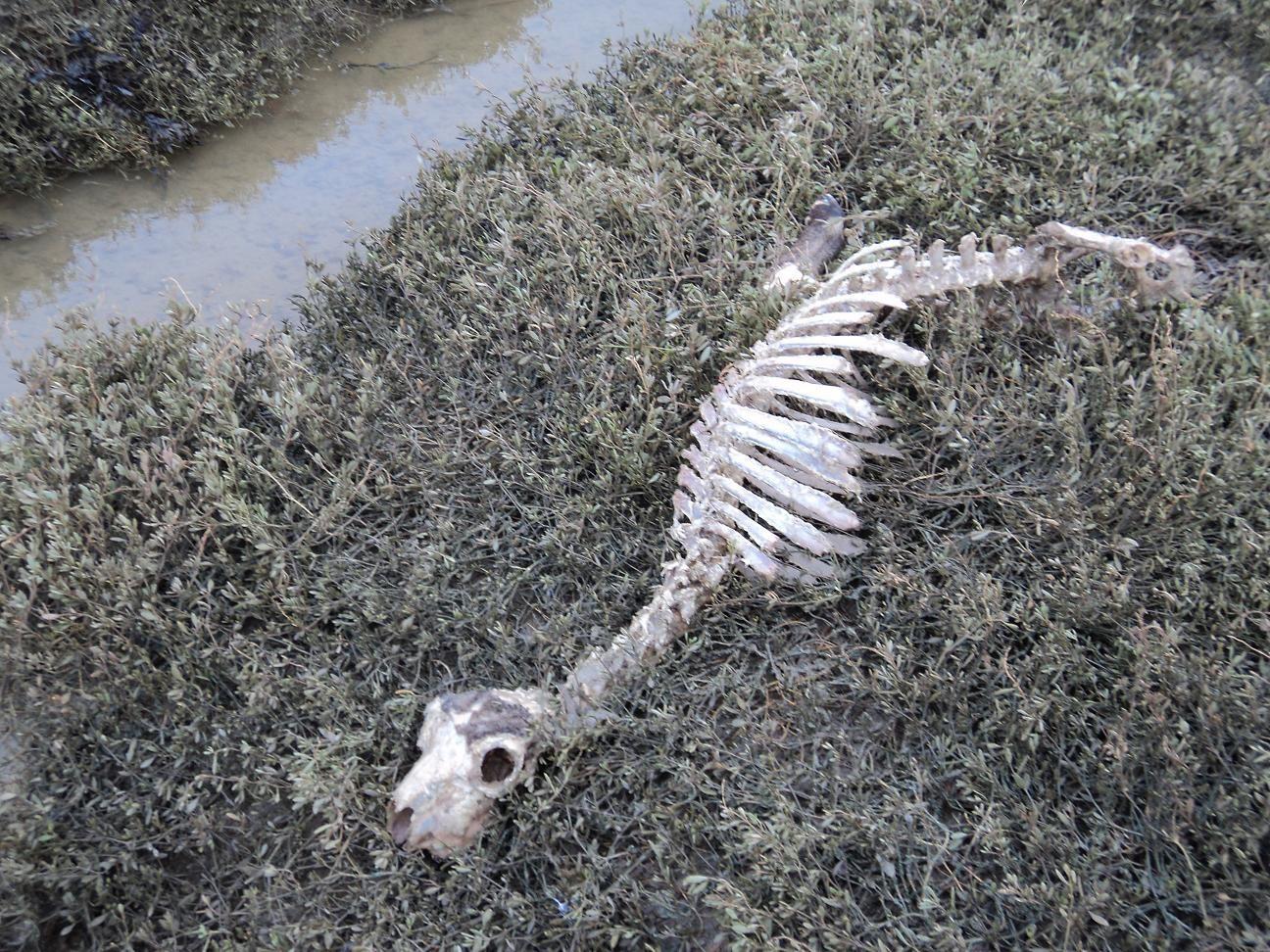 Si l'hiver est la saison des naissances, c'est aussi la période des macabres destinées... Les brebis sont alourdies par leur gros ventre de gestation et les ruisseaux se transforment en pièges de vase mortels. En dépit des multiples tournées de surveillance le long des points dangeureux, le berger de prés-salés arrive souvent trop tard : en 48h, les corbeaux, puis les renards, et enfin les petits crustacés lui restituent un squelette dénudé et immaculé, que la marée suivante soulèvera et déposera sur l'herbe. L'identification de la défunte ne pourra se faire qu'en réalisant l'inventaire de toutes les autres...