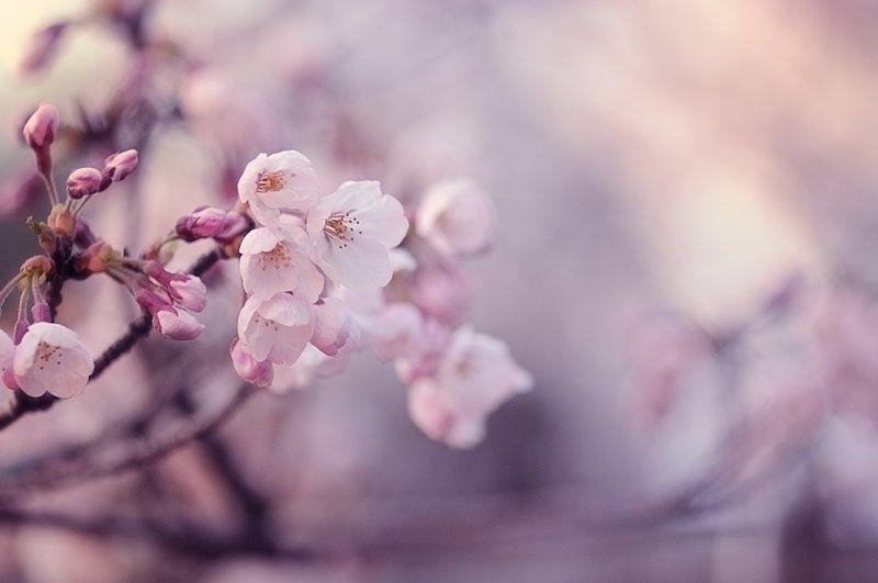 Sakura (Cerisiers en fleur)