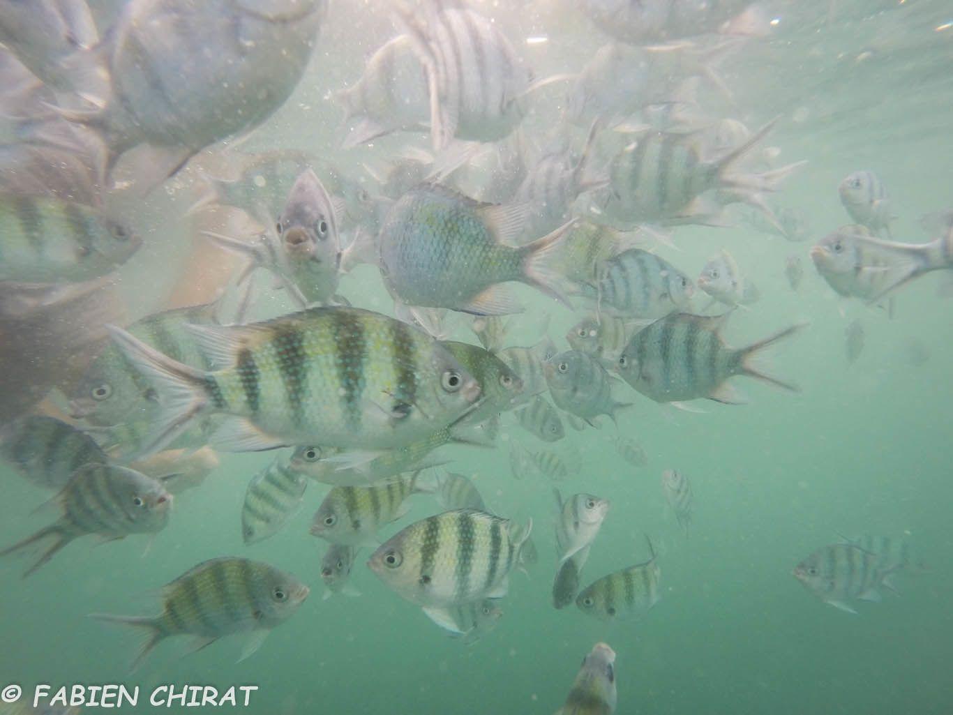 Quelques poissons dans une eau à 29°C.