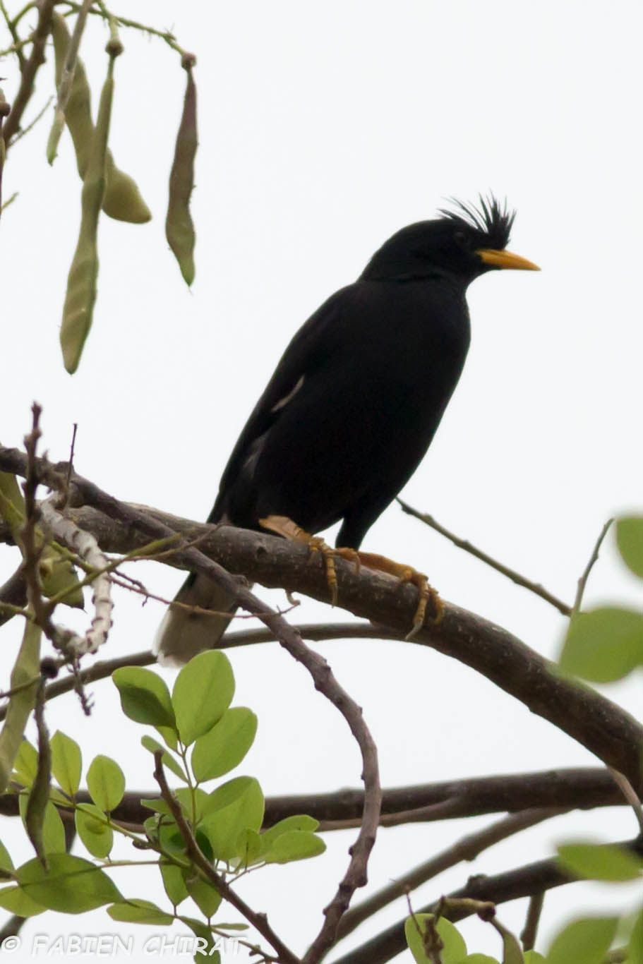 Martin huppé (Acridotheres cristatellus - Crested Myna)
