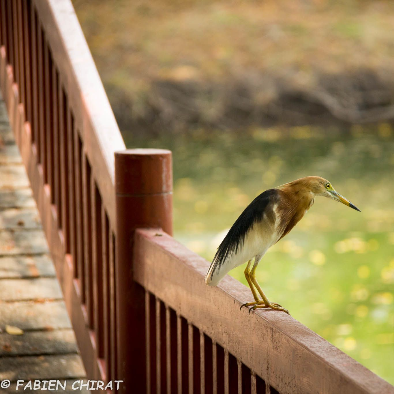 Crabier Chinois (Ardeola bacchus - Chinese Pond Heron)