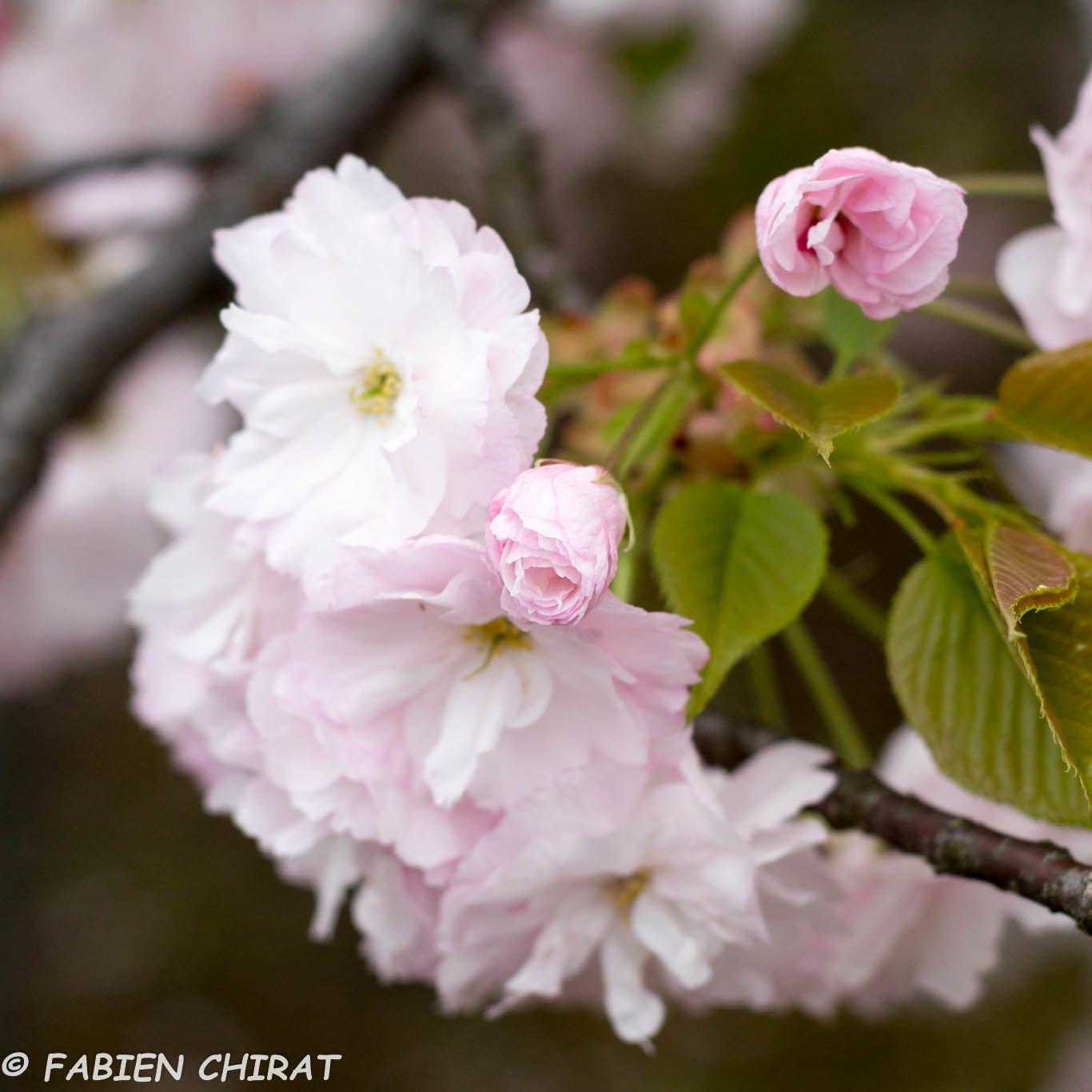 Floraison des cerisiers à Tokyo