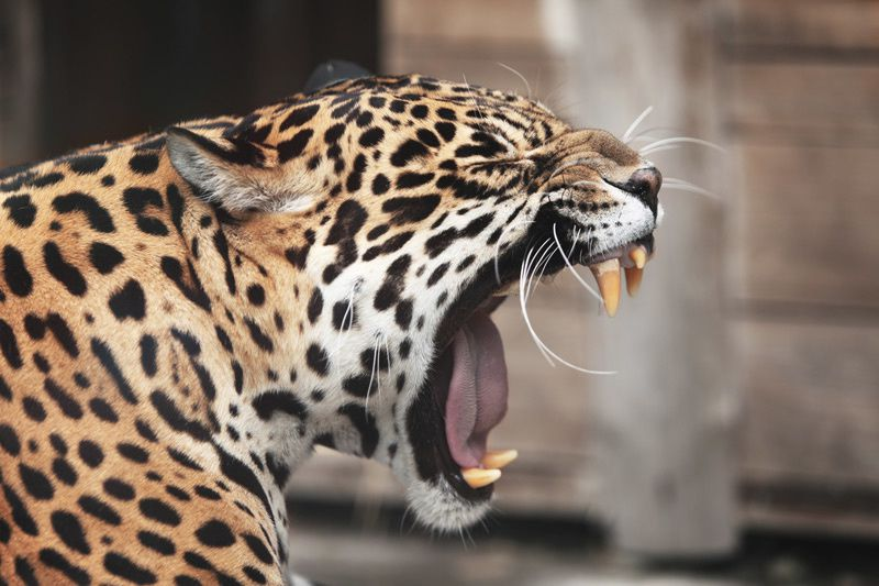 La Big Cat Week de retour sur Nat Geo Wild