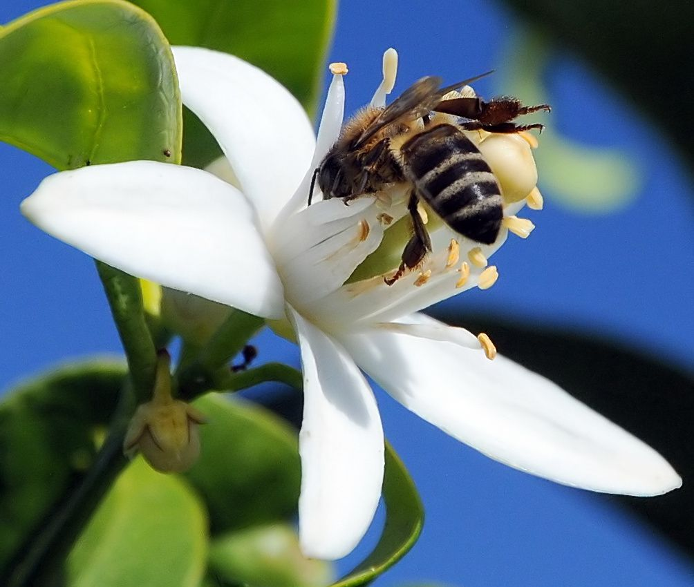 abeille butinant une fleur d'oranger - Guy Moll - flickr - licence CC-BY