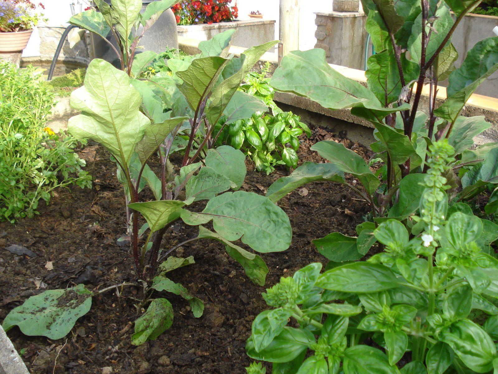 voir photo de l'association : tomates , tagette et basilc