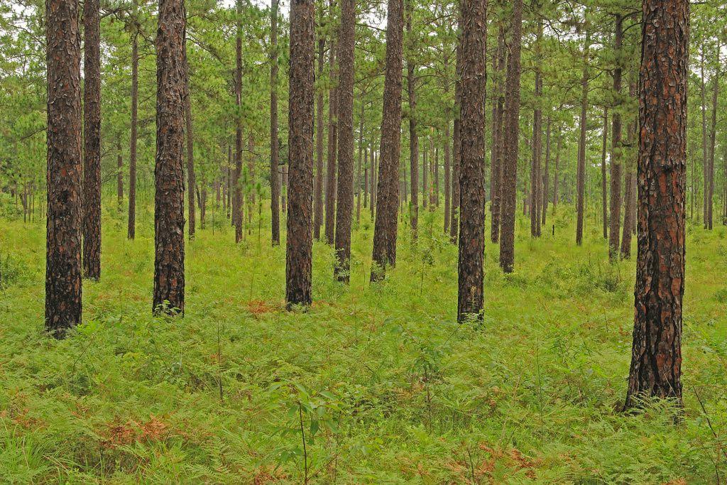 Le pitchpin , bois utilisé autrefois
