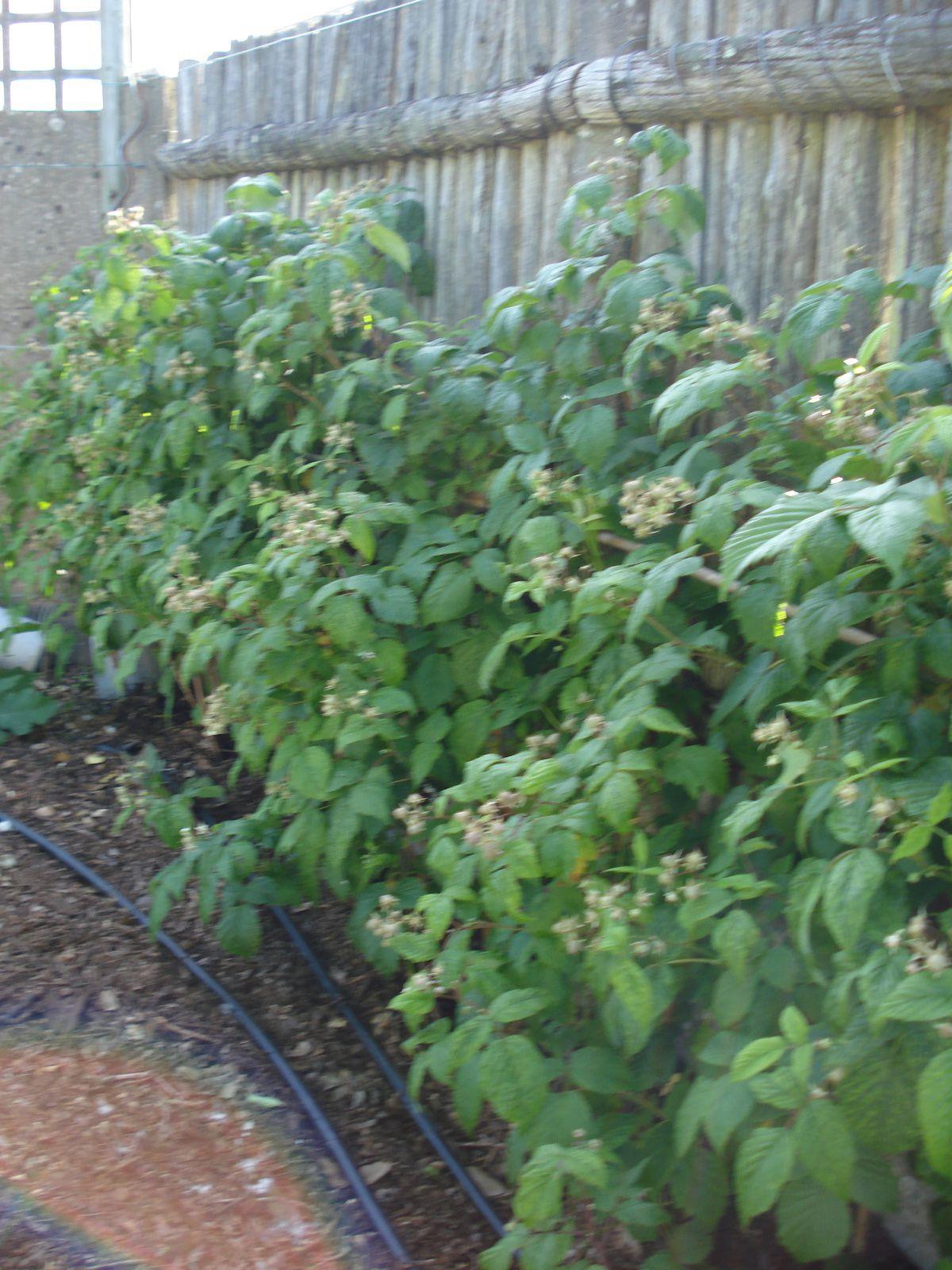 mai et  juin , 2 mois favoris des petits fruits rouges