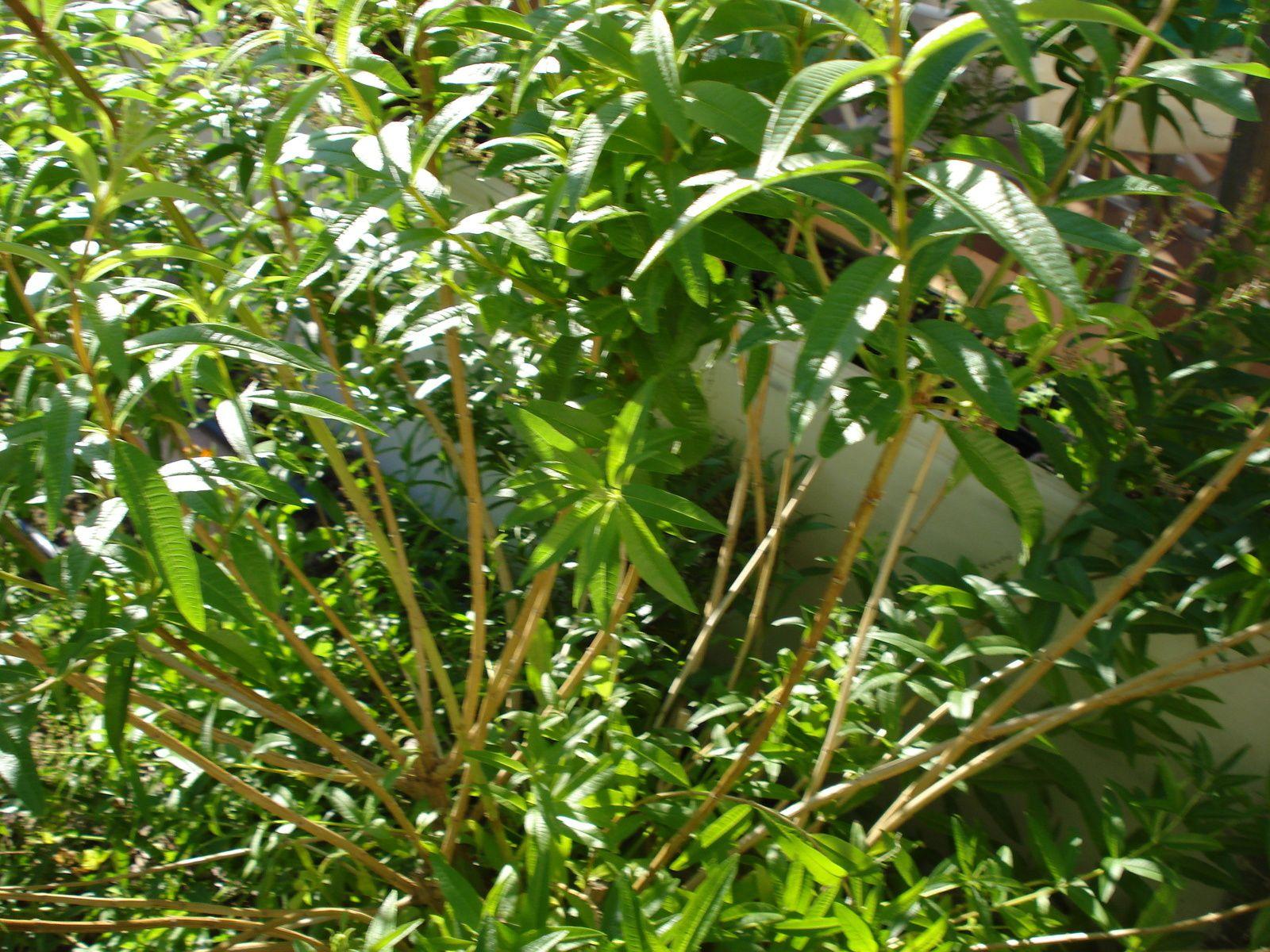 (  3em photo)  - apres la ceuillette les branches basses sont dénudées !