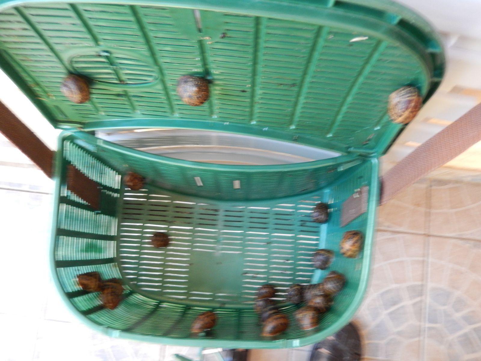 jeune des escargots
