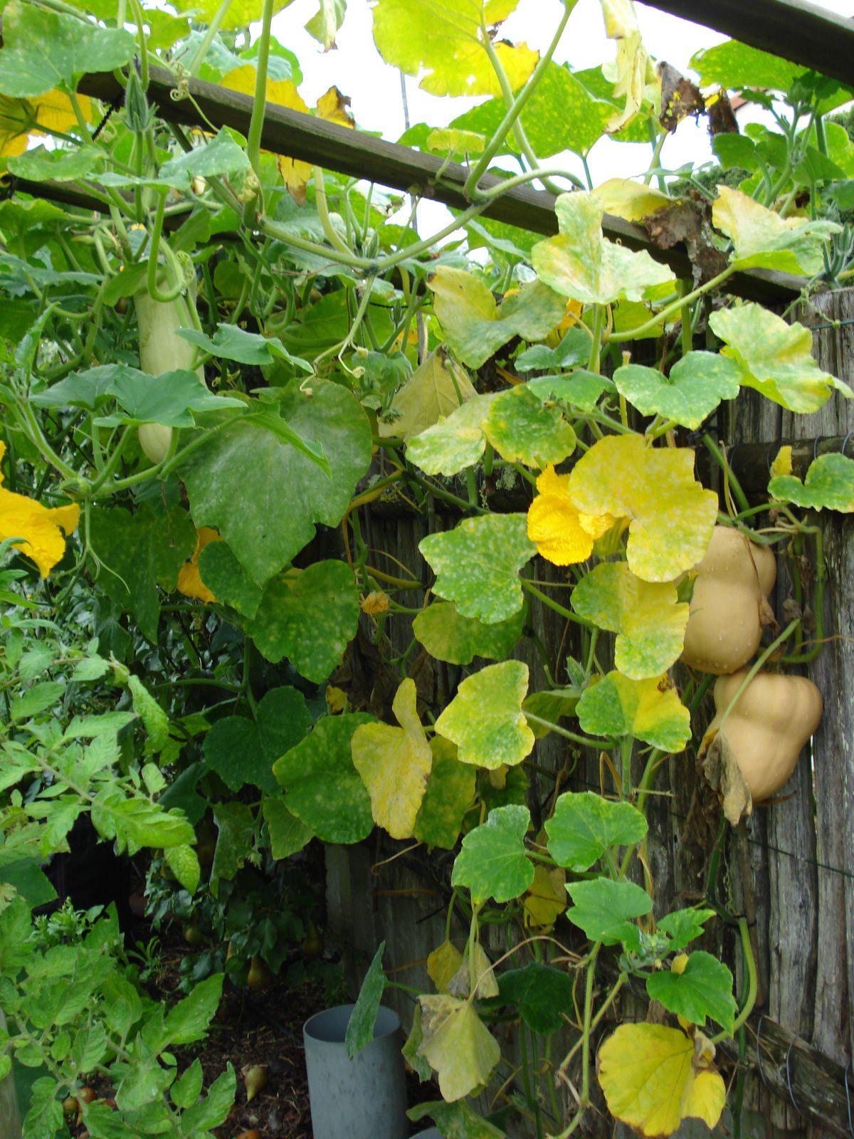 la dernière photo est une poire de terre , 1,20 de haut , légume/fruit d'automne  (dans un prochain article )