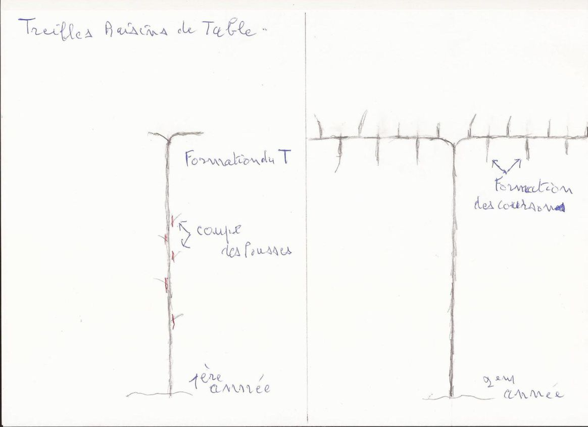 """toujours  recommandé de former les treilles (vignes ) en un seul étage , l'étage inférieur sera toujours moins productif  ,  si on veut  garnir un mur trés haut , un étage par cep , c'est la formation """"thomery """" derniére photos"""