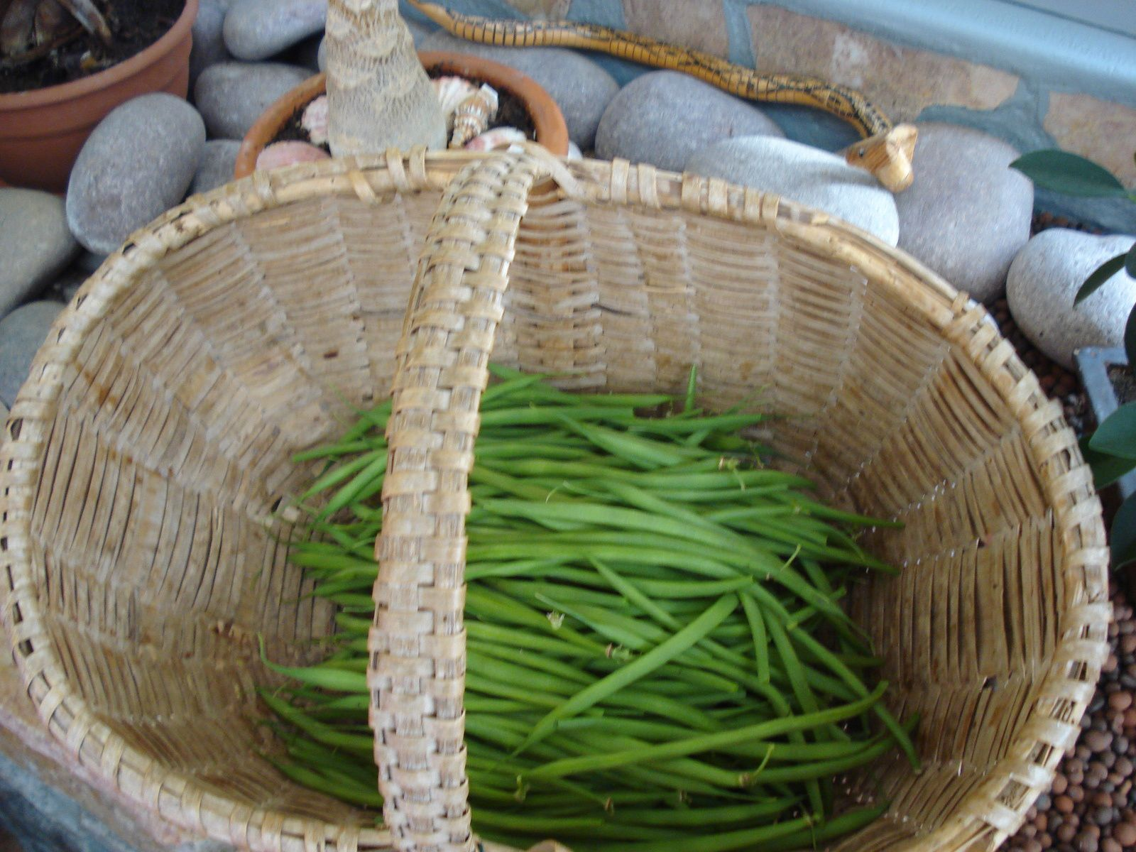 """derniére récolte ,variété ancienne """" aiguillon"""""""