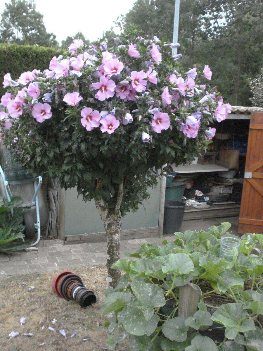 cette années les treilles sont chargé comme jamais ! une perlette (sans pépin ) aladin ( rosée ) et la 3em muscat blanc  !