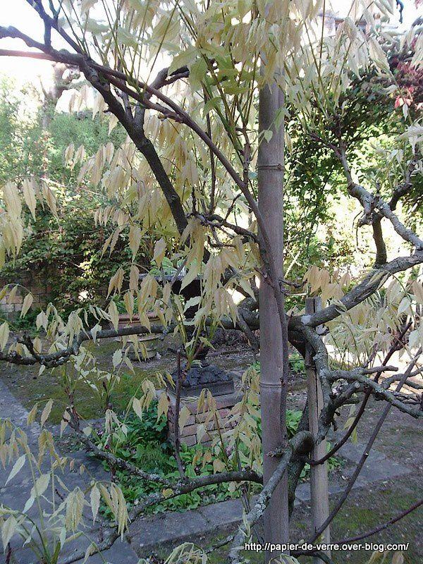 Mon coup de coeur du jour : cet arbuste au léger feuillage jaune pâle
