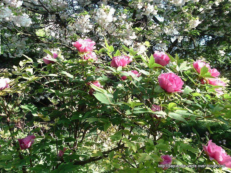 Tulipes et Pivoines