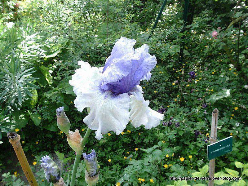 Corolle juponnée d'un iris dont le nom masculin n'entache en rien la divine féminité