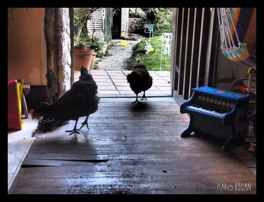 Quand on laisse la porte ouverte, elles viennent picorer dans la maison. On dirait une photo de western !