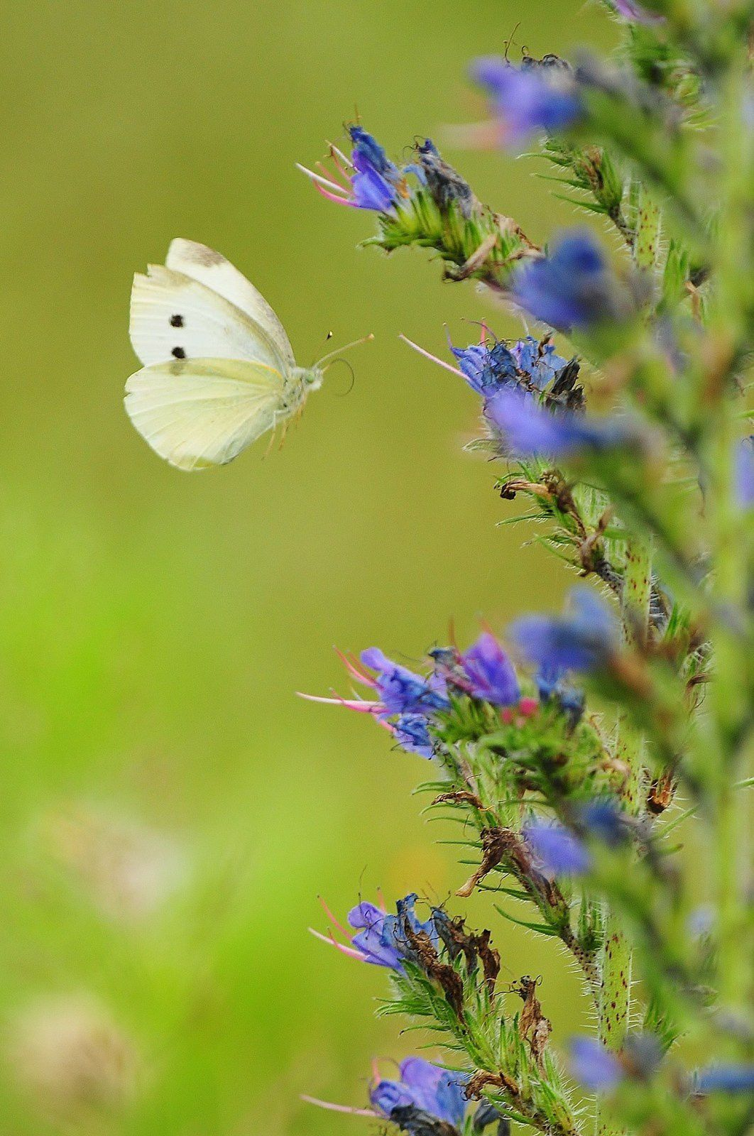 Piéride de la rave (Pieris rapae).