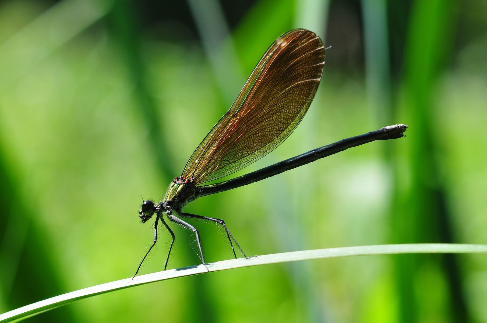 Caloptéryx vierge (Calopteryx virgo).