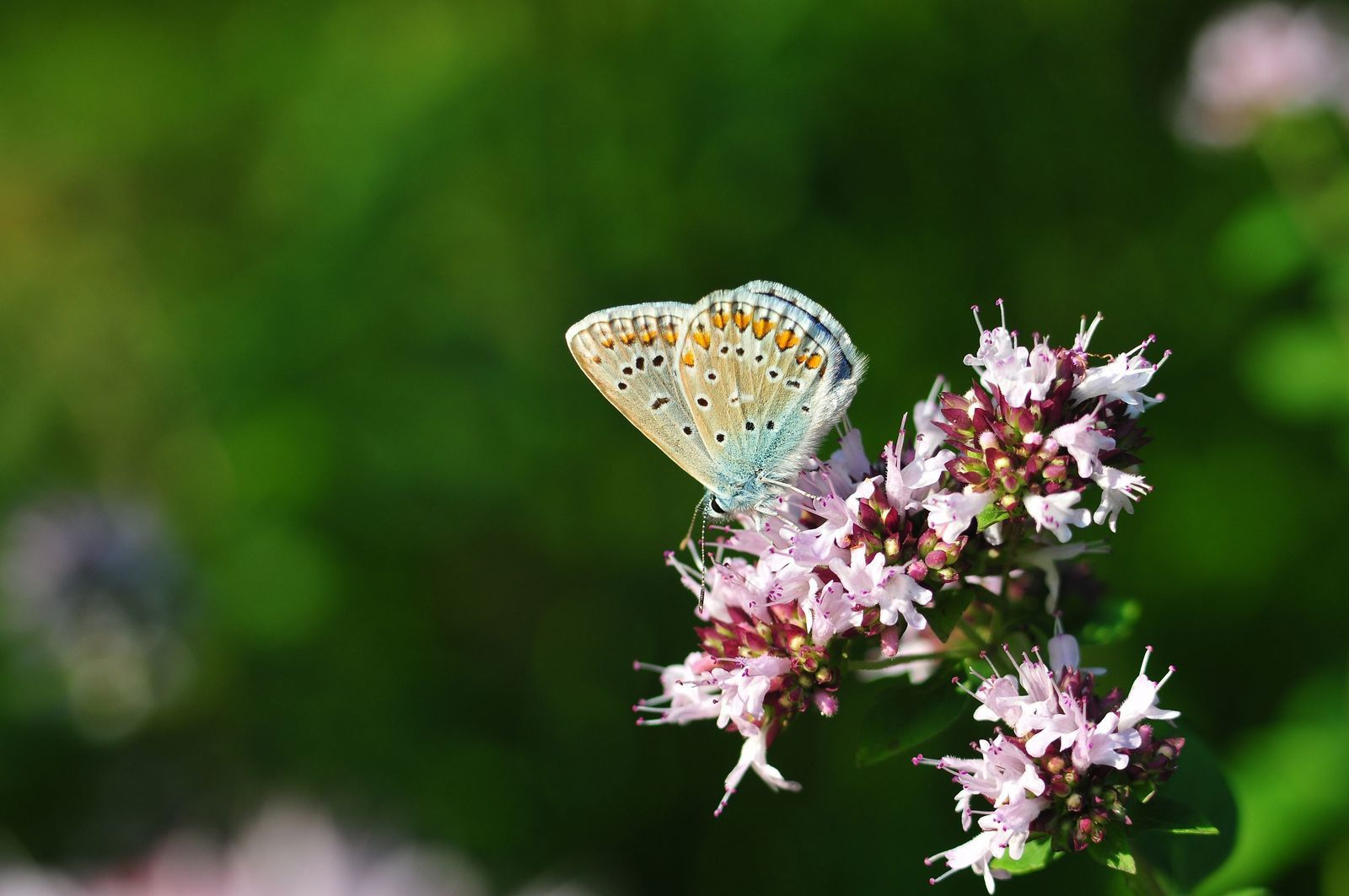 Azuré commun - argus bleu (Polyommatus icarus).