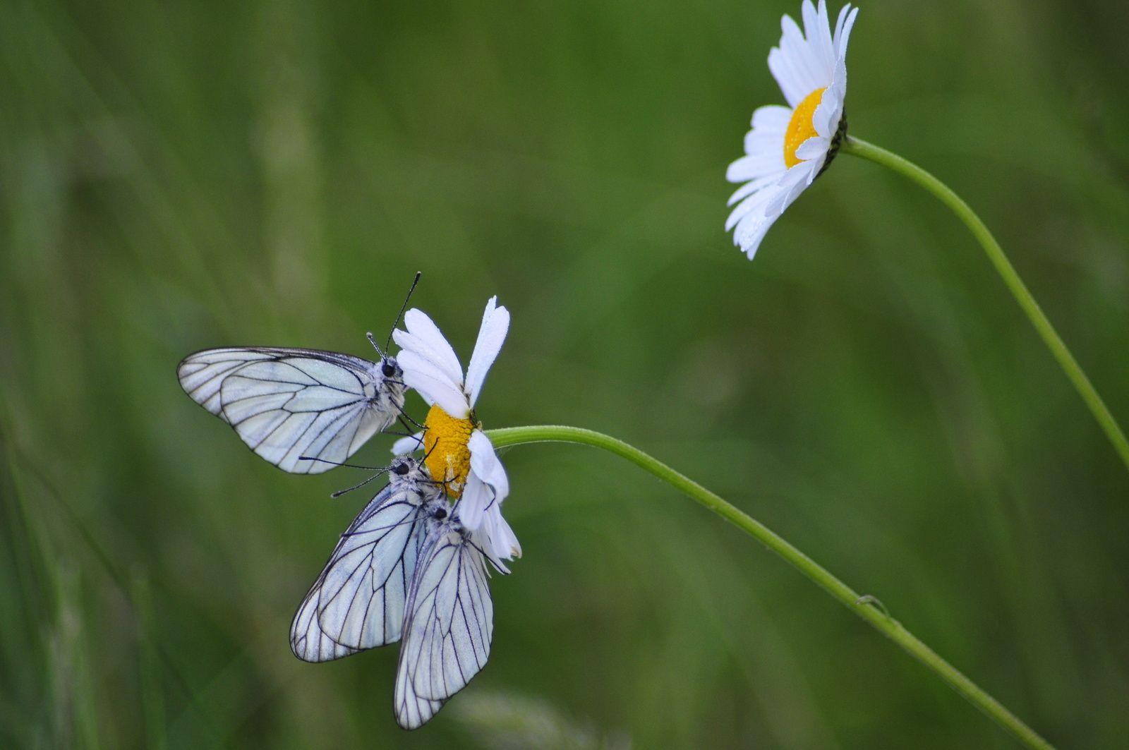 Piéride de l'aubépine - le gazé (Aporia crataegi).