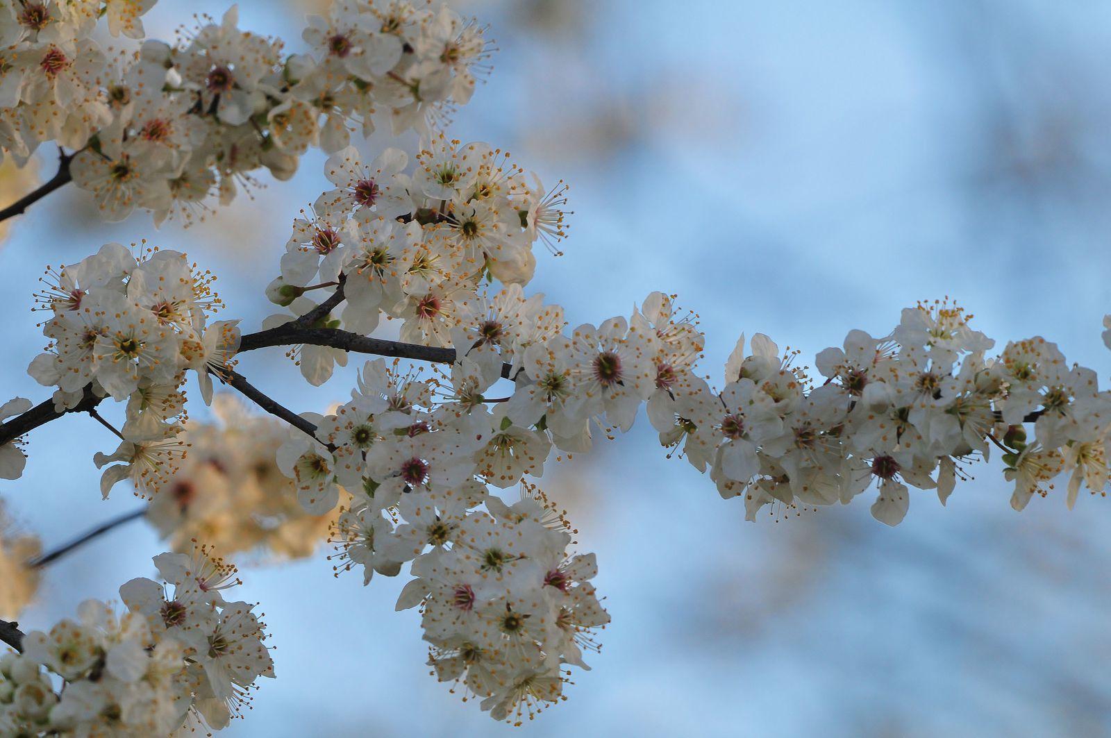 Fleurs de prunier, saule...