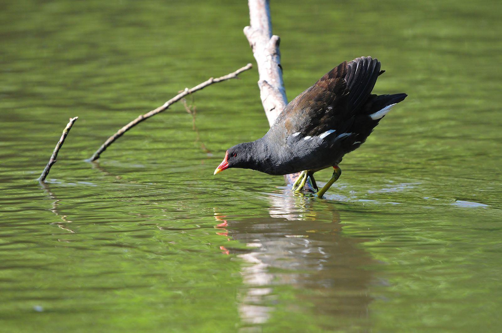 Gallinule poule d'eau (Gallinula chloropus).