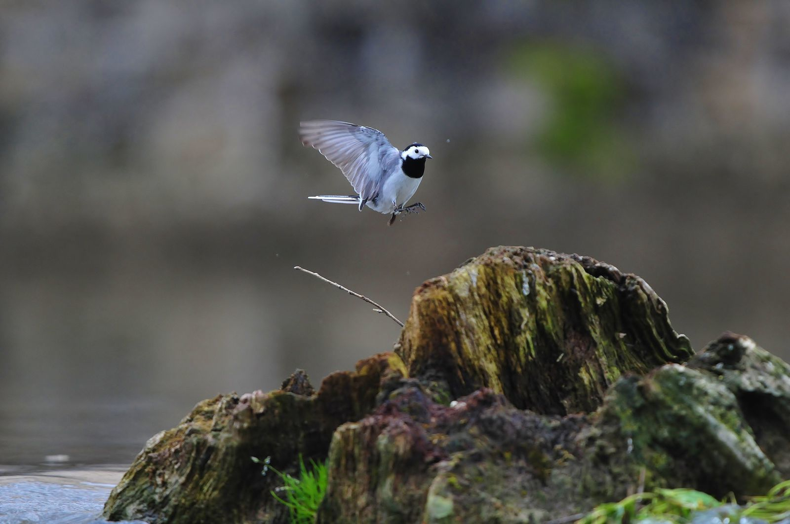 Bergeronnette grise (Motacilla alba).