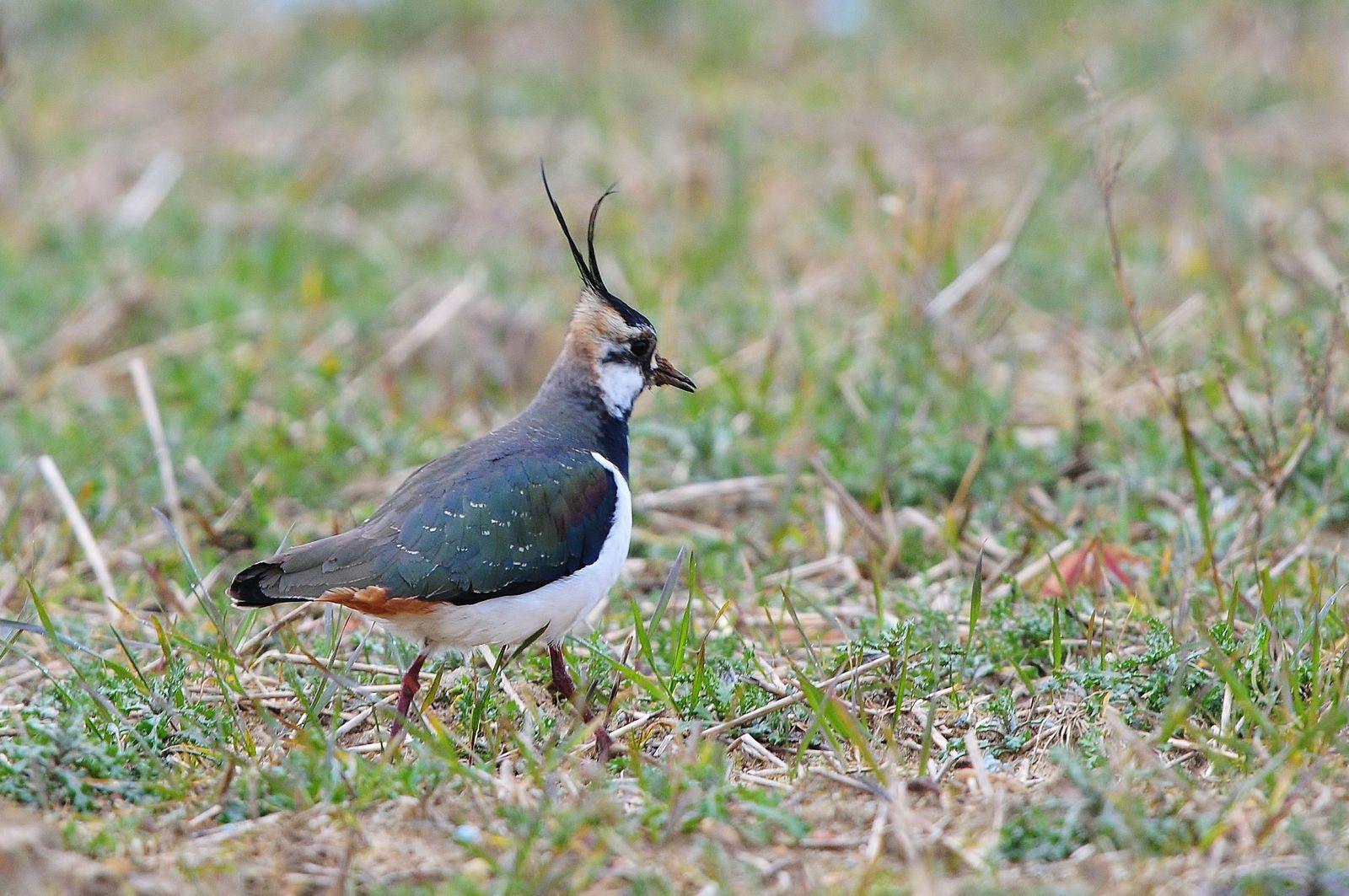 Vanneau huppé (Vanellus vanellus).