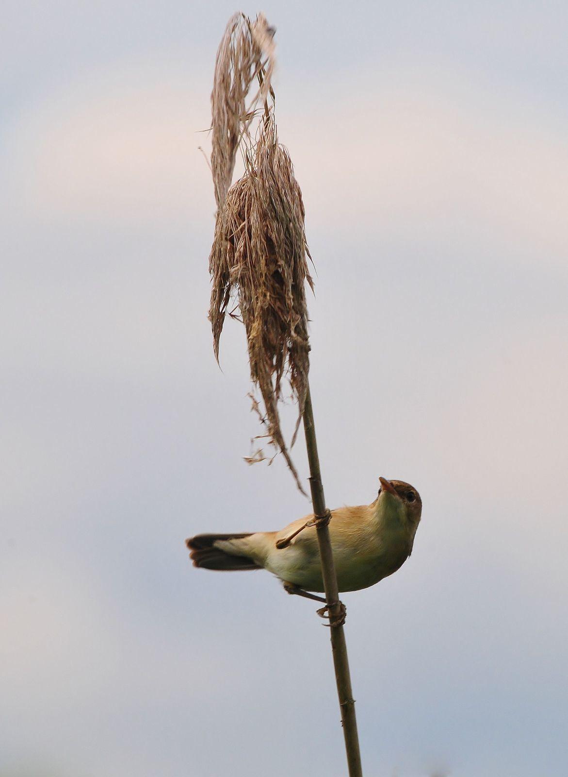 Rousserolle effarvatte (Acrocephalus scirpaceus).