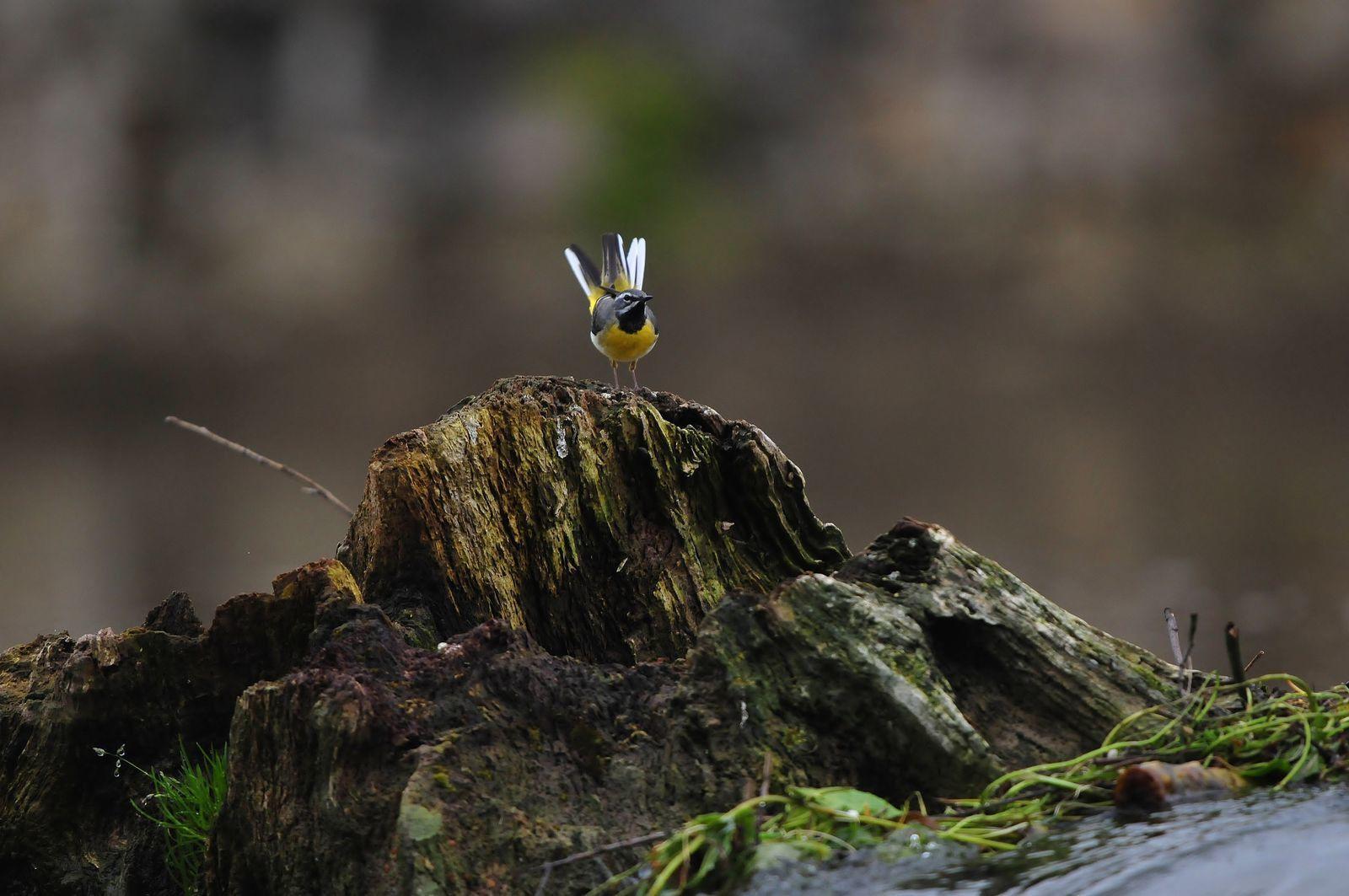 Bergeronnette des ruisseaux (Motacilla cinerea).