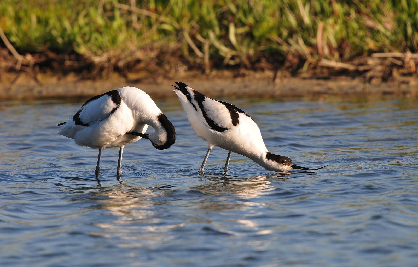Avocette élégante (Recurvirostra avosetta).