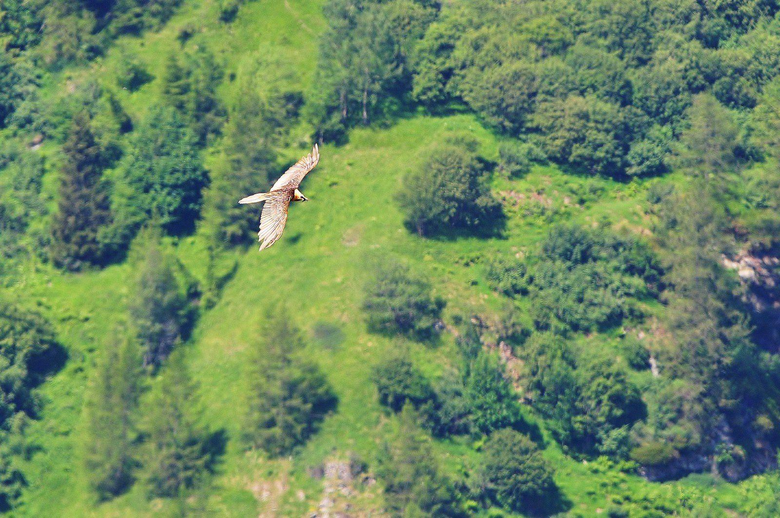 Gypaète barbu (Gypaetus barbatus).
