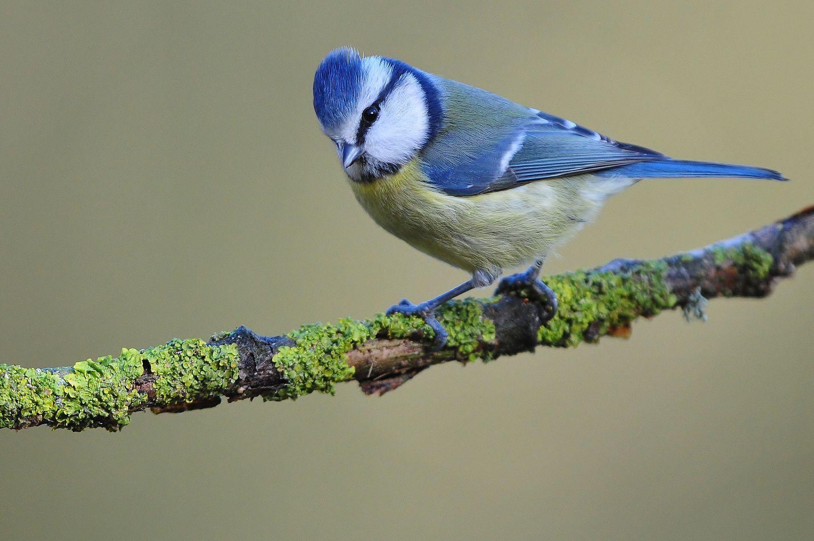Mésange bleue (Cyanistes caeruleus).