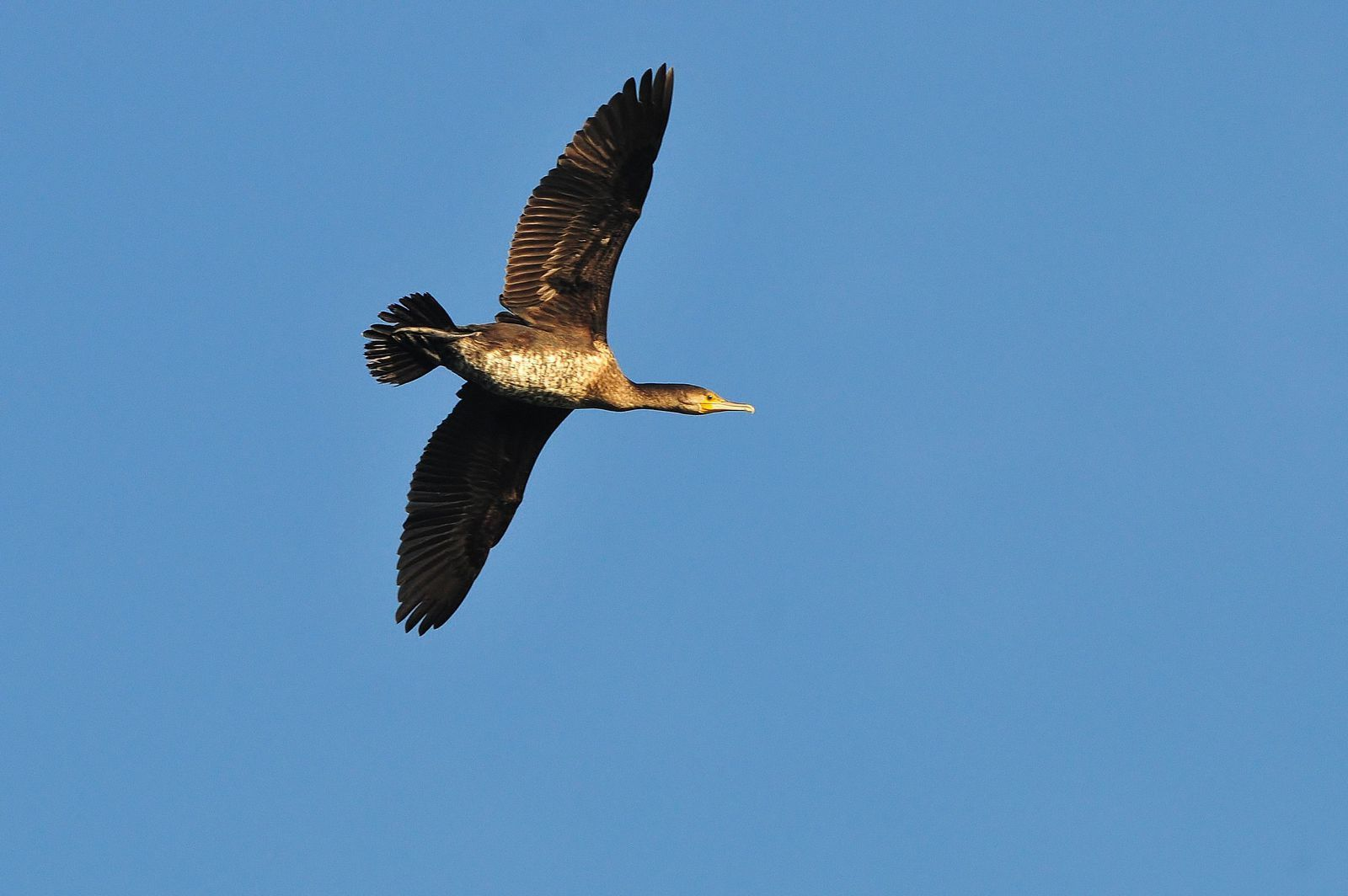Grand cormoran (Phalacrocorax carbo).
