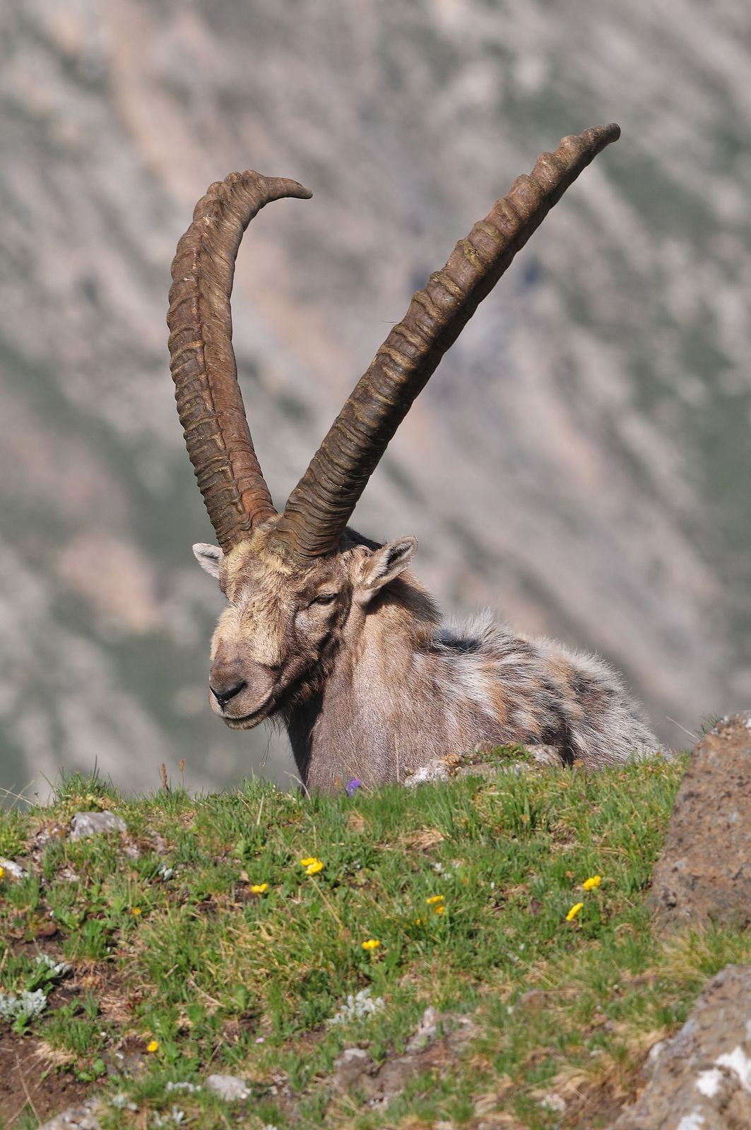 Bouquetin d'Europe (Capra ibex).