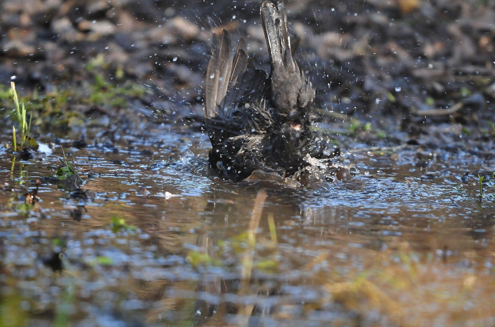 Merle noir au bain, martin pêcheur (femelle).
