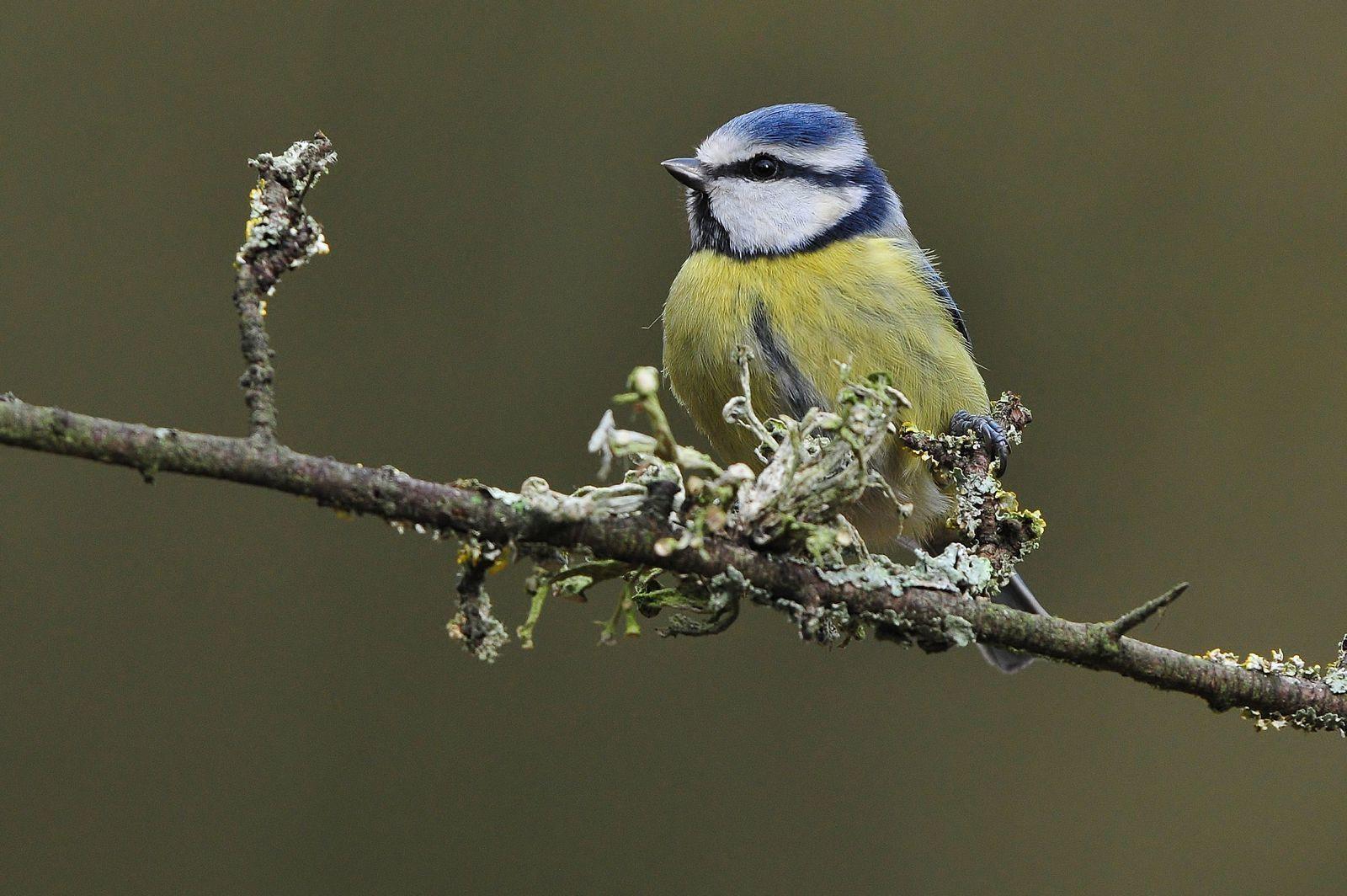 Mésange charbonnière, mésange bleue, mésange nonnette, mésange à longue queue, pinson des arbre (mâle), canard colvert.