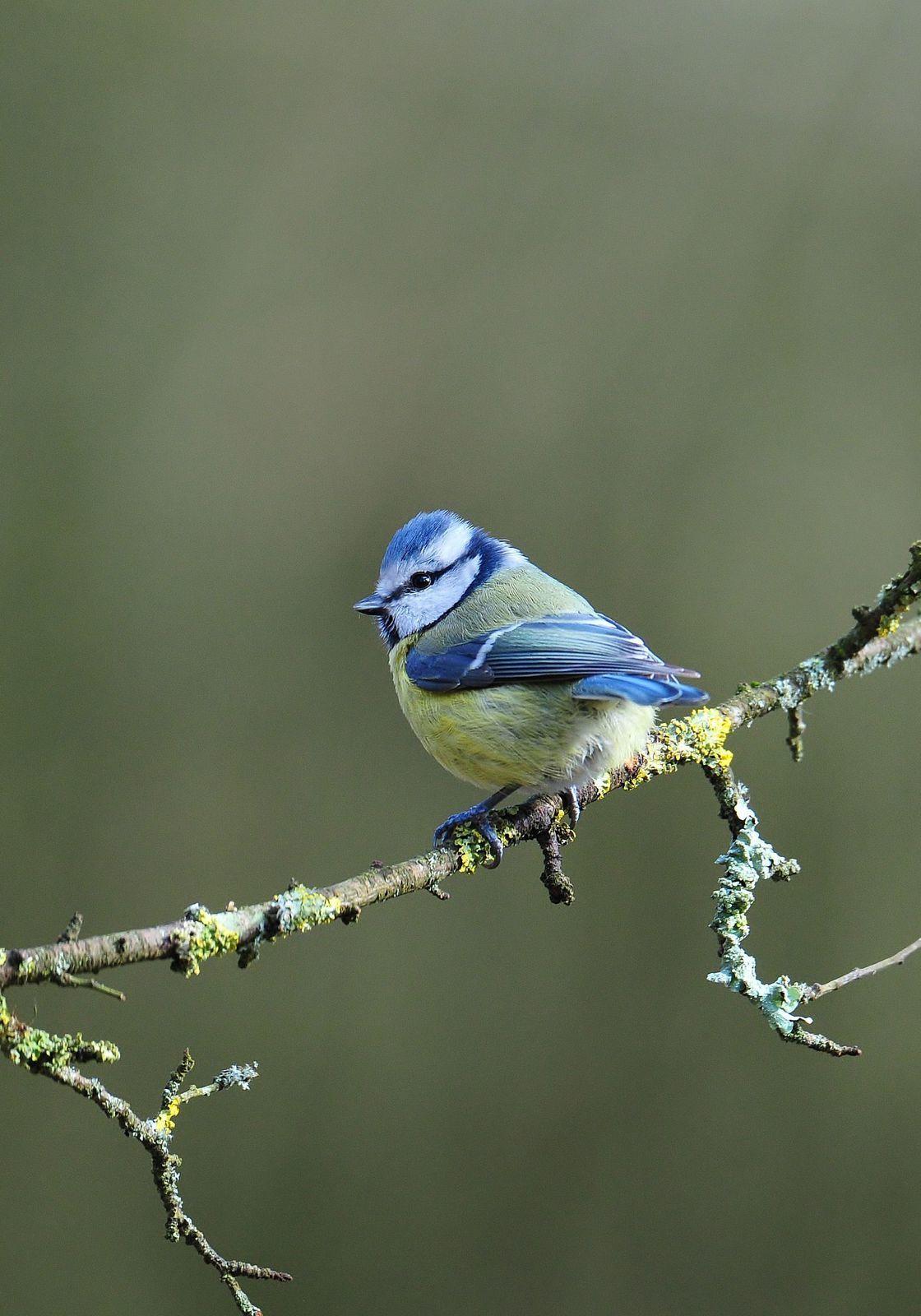 Perce neige, accenteur mouchet, mésange nonnette, bleue, charbonnière et mésange à longue queue.