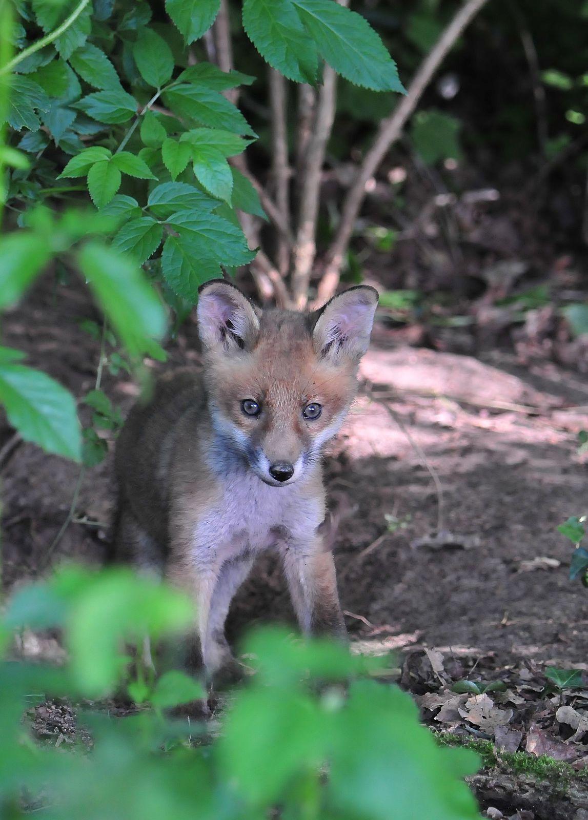 Renardeaux (renard roux).