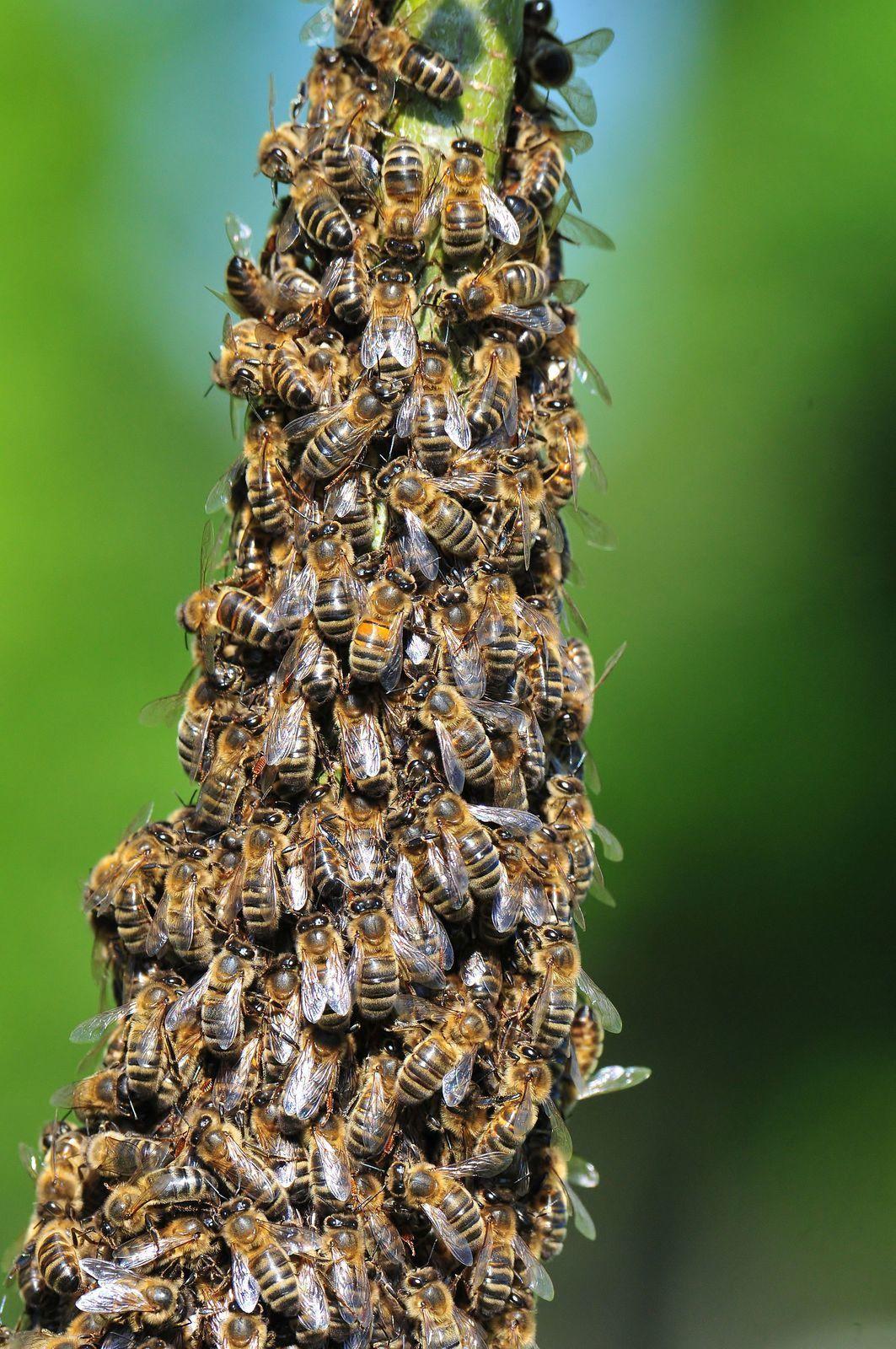 Etourneau sansonnet, martins pêcheurs, essaim d'abeilles.