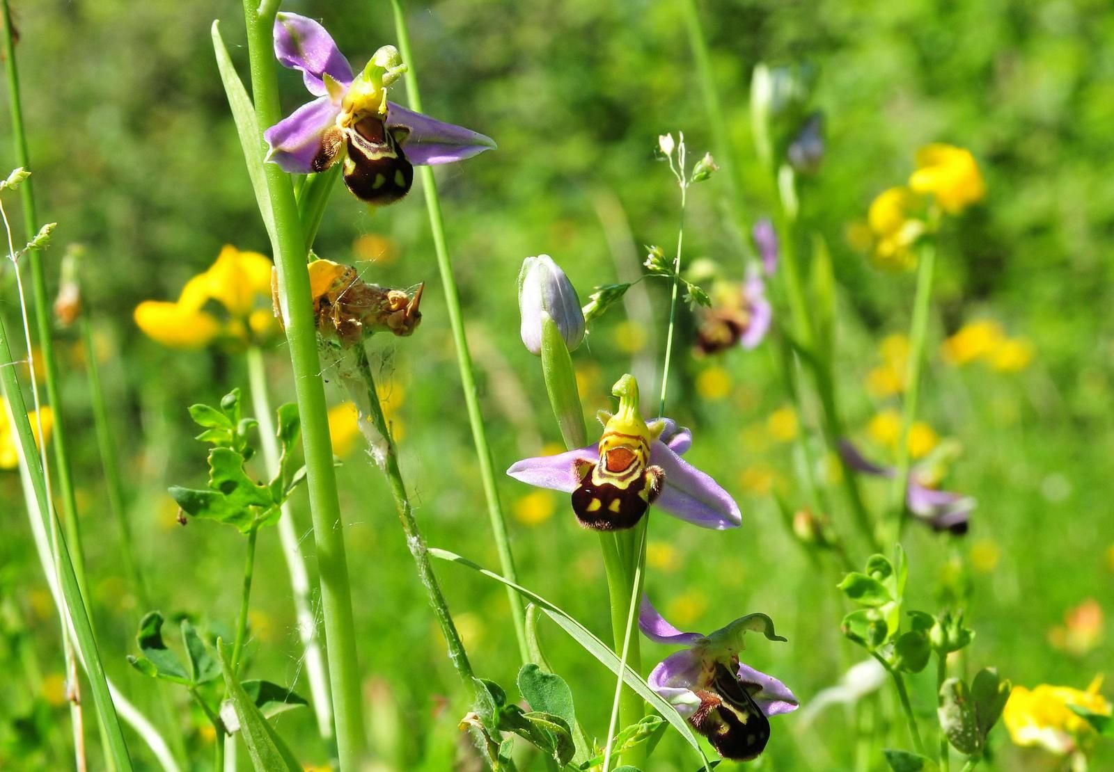 Ophrys abeille, orchis bouc, grandes marguerites, syrphes.