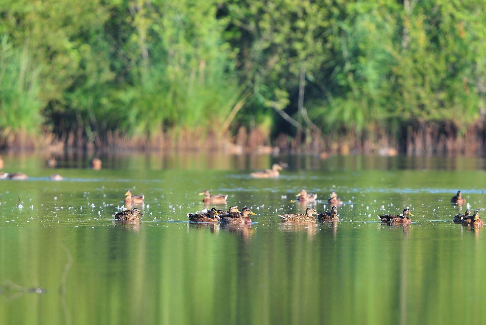 Grands cormorans, canards colverts, héron cendré, cygne tuberculé, grèbes huppés (adulte et poussin).