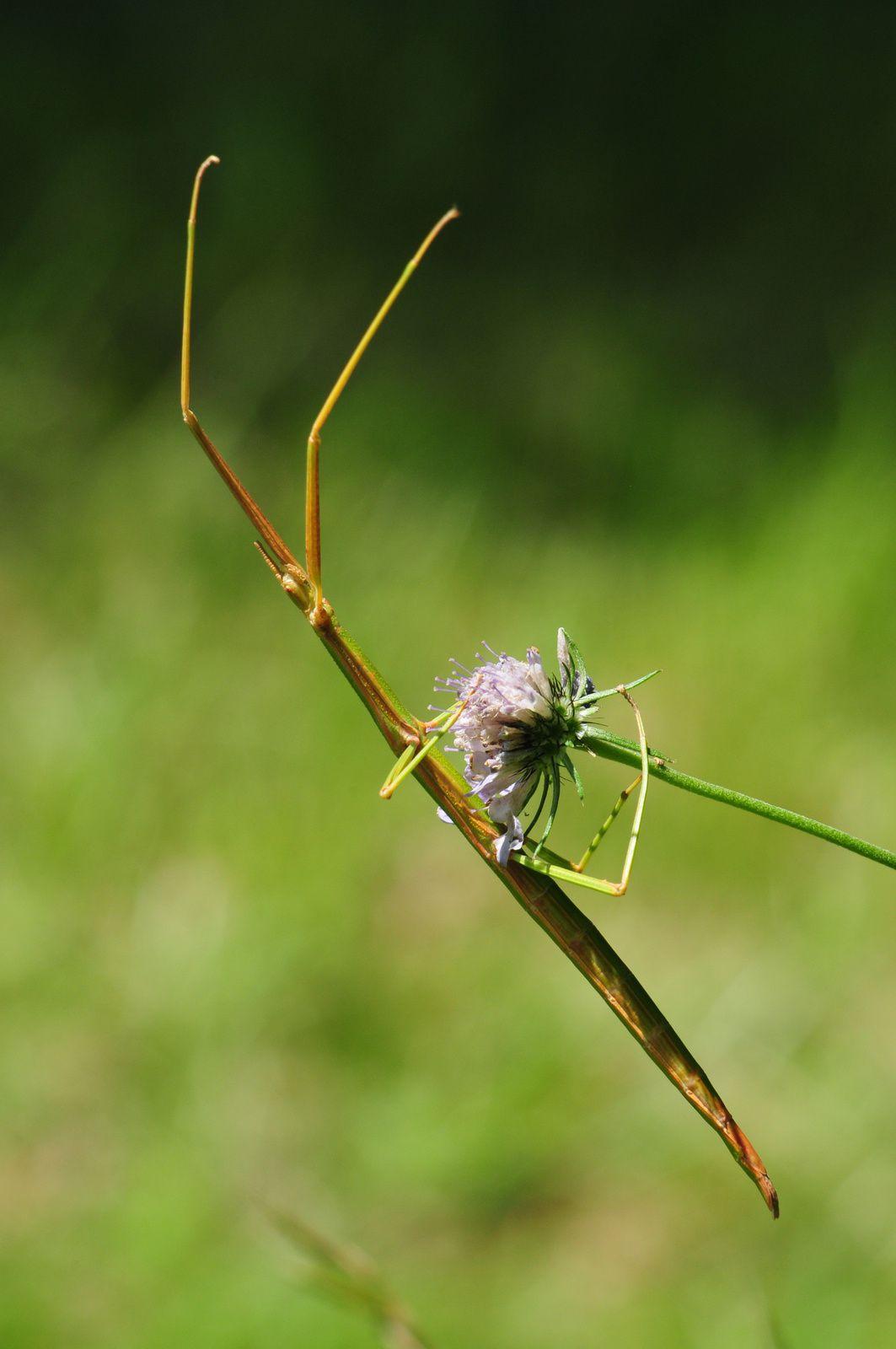 Phasme gaulois (Clonopsis gallica).