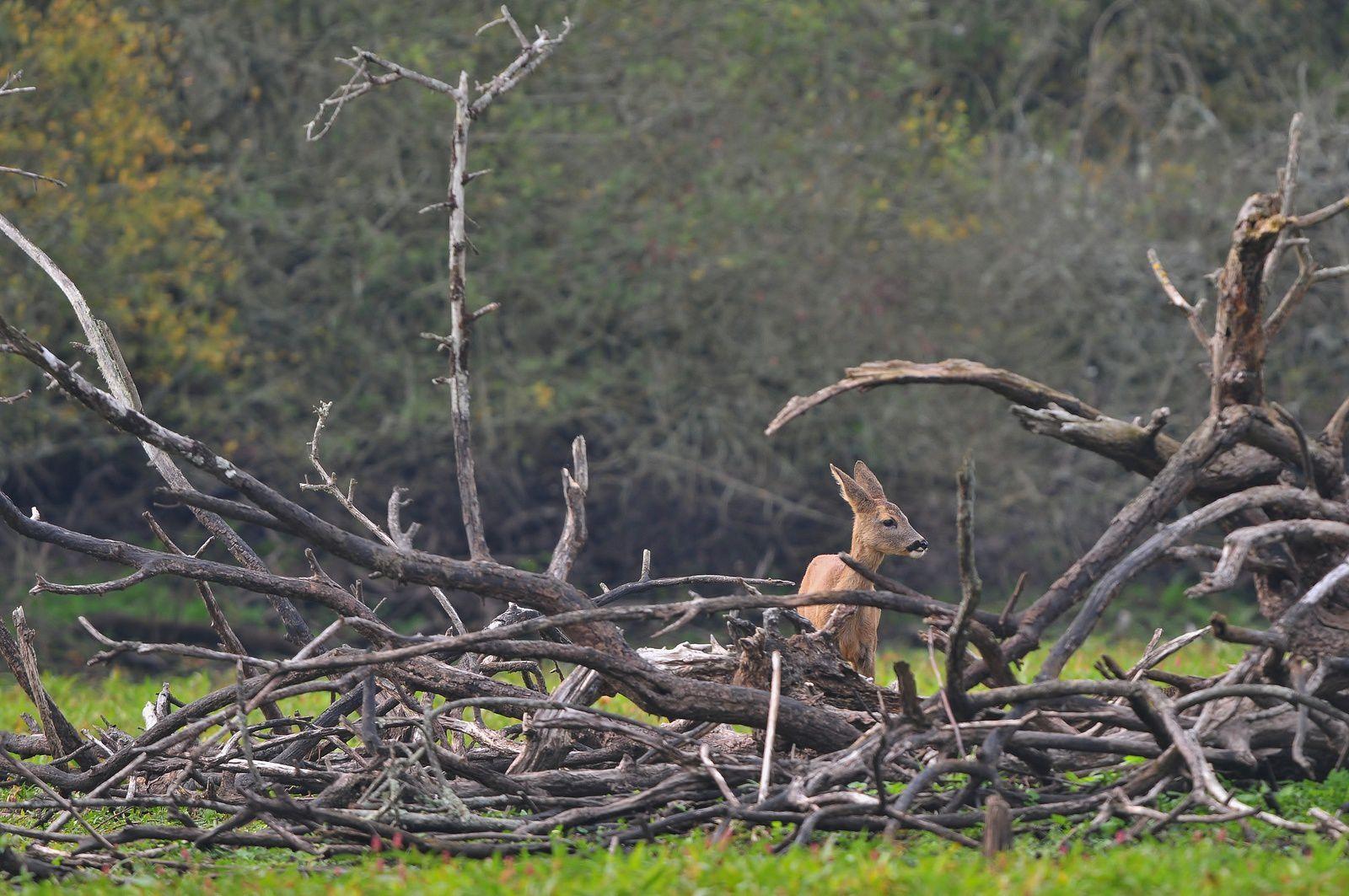 Chevreuils européens ( chevrillards).